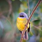 Eastern Yellow Robin by cs-cookie