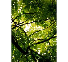 Robinia Photographic Print
