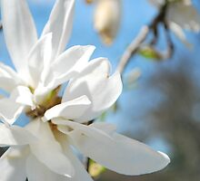Star Magnolia Flower by Jeff Stroud