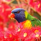 Lorikeet by cs-cookie