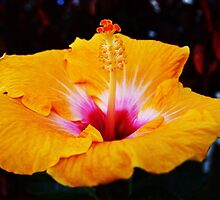 hibiscus #1 by Virginia McGowan