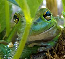 Motorbike frog, Litoria moorei in Strawberry patch,  by Julia Harwood