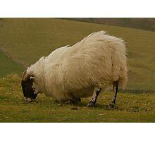 Kneeling Sheep Photographic Print
