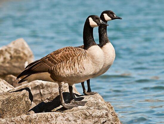 Canada Geese by (Tallow) Dave  Van de Laar