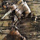 Birch Bark Curl by Tracy Wazny