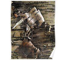 Birch Bark Curl Poster