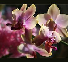 orchidee lucid  by LisaBeth