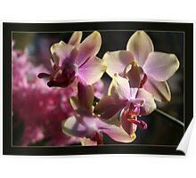 orchidee lucid  Poster