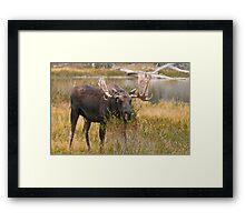 Bull Moose II Framed Print