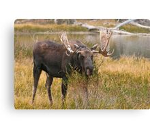 Bull Moose II Canvas Print