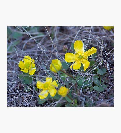 Sagebrush Buttercup Photographic Print