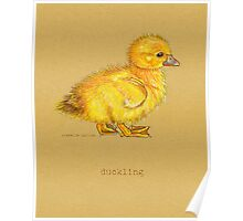 Duckling, Duck, in colored pencil and pen and ink Poster