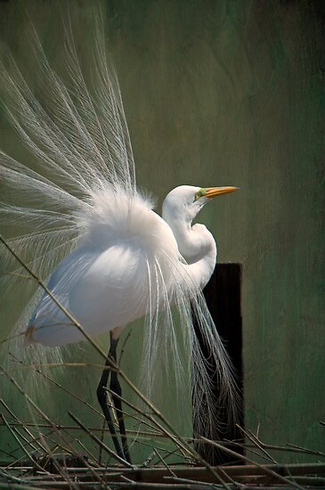 Avery Island Egrets--Great Egret in all his Regalia by Bonnie T.  Barry