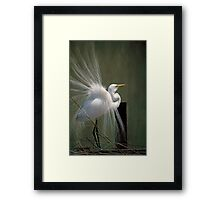 Avery Island Egrets--Great Egret in all his Regalia Framed Print