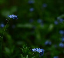 Tiny blue flowers amongst the green by brendontjg