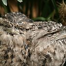 peeking frogmouths by footsiephoto