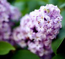 Lilacs by lensmatter