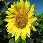 Gettysburg Sunflower Field by Kissy