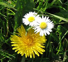 Two Button Daisies and Dandelion by BlueMoonRose