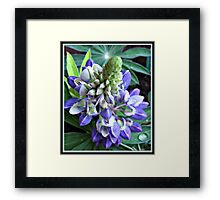 Raindrops on Baby Blue Lupin  Framed Print