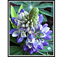 Raindrops on Baby Blue Lupin  Photographic Print