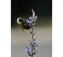A Bee on Lavender Photographic Print