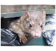 Spotted-tailed quoll daylight scavenging Poster