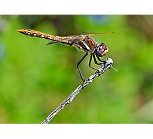 Female Variegated Meadowhawk Photographic Print