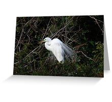 Great White Egret (Casmerodius albus) Greeting Card