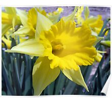 The First Daffodil of the Spring of 2010 Poster