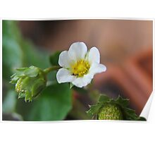 strawberry flower Poster