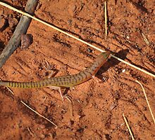 Narrow-banded Sand Swimmer (Eremiascincus fasciolatus), Tanami Desert, Central Australia by sahoaction