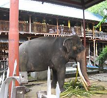 Elephant at rest Sri Lanka by Camille Jackson