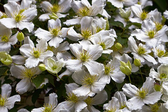 White Clematis by Ray Clarke