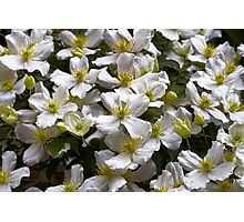 White Clematis Photographic Print