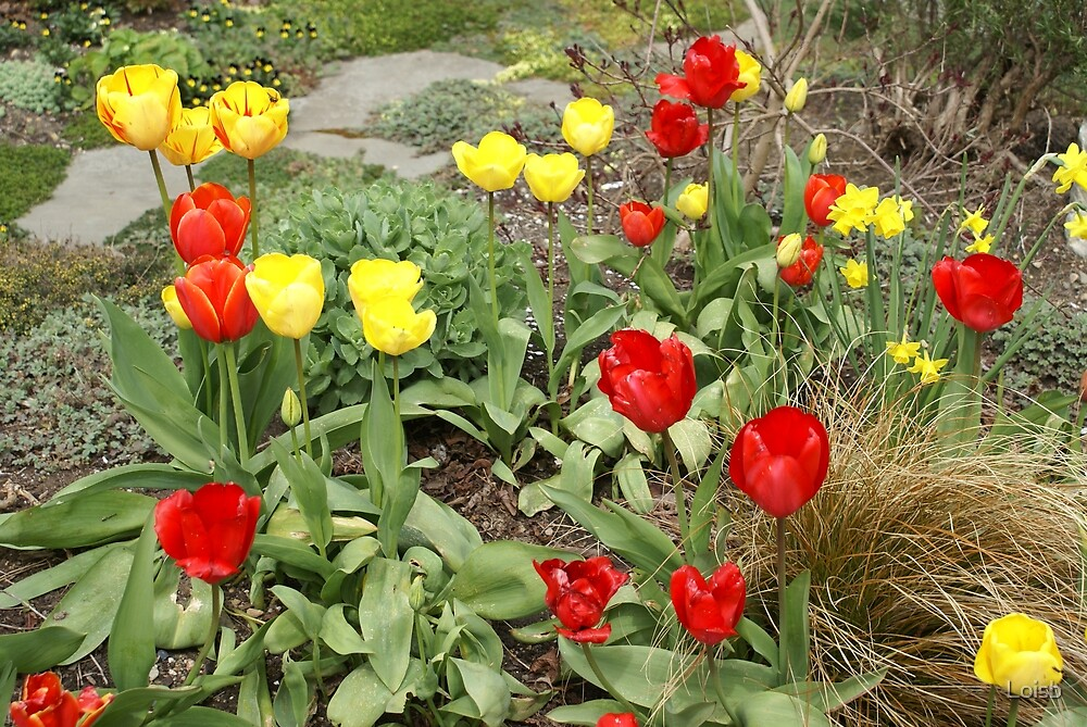 Tulips in Any Color by Loisb