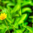 Yellow Blossom by artz-one