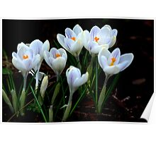 Beautiful (Spring Crocus early April) Poster