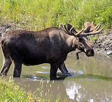 Moose by Ingvar Bjork Photography