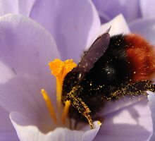 Bumble Bee on Crocus Macro close-up by energyman242