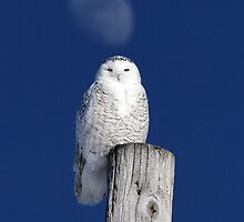 Moon Post Alignment / Snowy Owl by Gary Fairhead