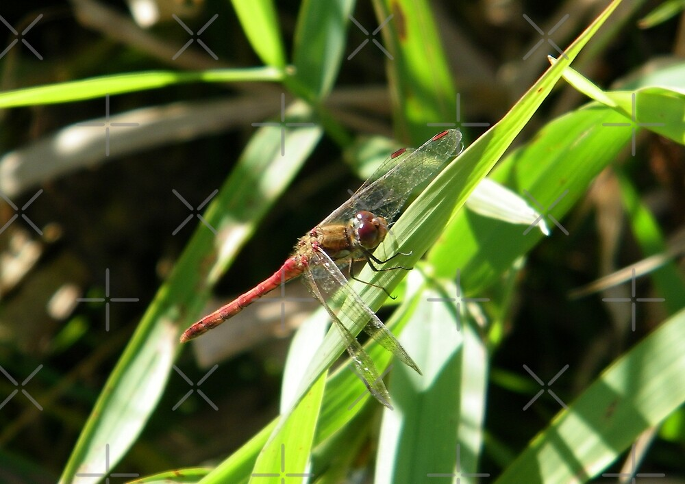 Dragonfly by LoneAngel