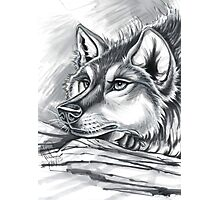 Wolf Grey Photographic Print