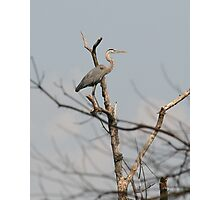 The Lone Heron Photographic Print