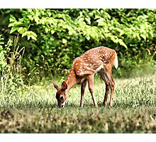 Grazing Whitetail Fawn  Photographic Print