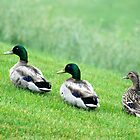 Ducks by Vonnie Murfin