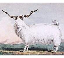 Angora Goat Illustration Photographic Print
