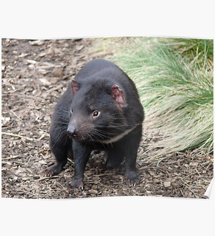 Please don't fade away - Tasmanian Devil Poster