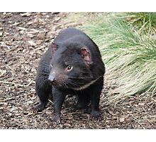 Please don't fade away - Tasmanian Devil Photographic Print