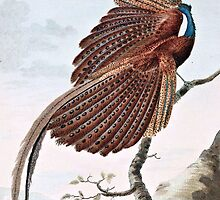 Argus Pheasant Bird Painting by goldenmenagerie